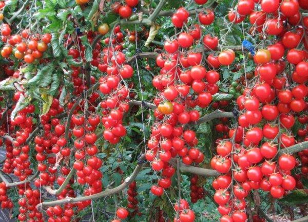 Как заготовить помидоры черри в томатном соке на зиму