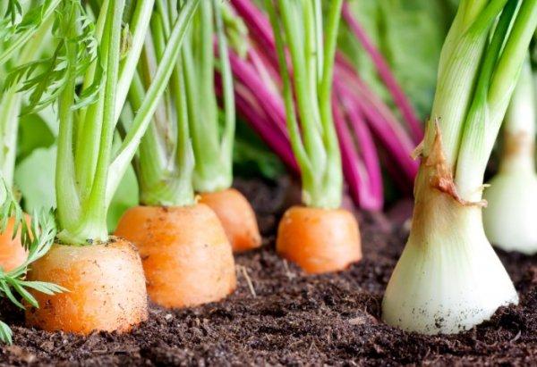 Правильное соседство овощей - залог богатого урожая. Секреты выращивания овощей с точки зрения их совместимости.