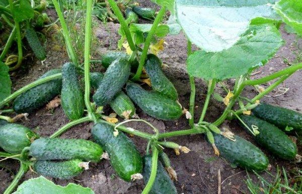 Что надо знать при выращивании огурцов, чтобы не лишиться урожая