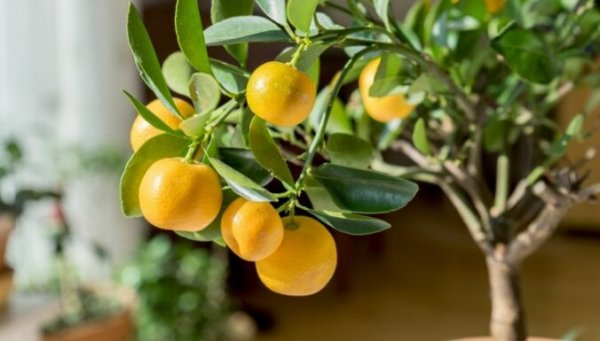 Вкус праздника. Сколько мандаринов можно съесть и полезнее ли они апельсинов